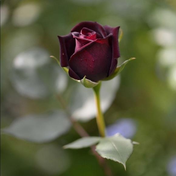 rosebud776